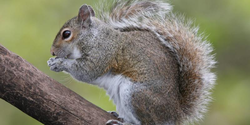 Grey Squirrel on Tree in Long Island