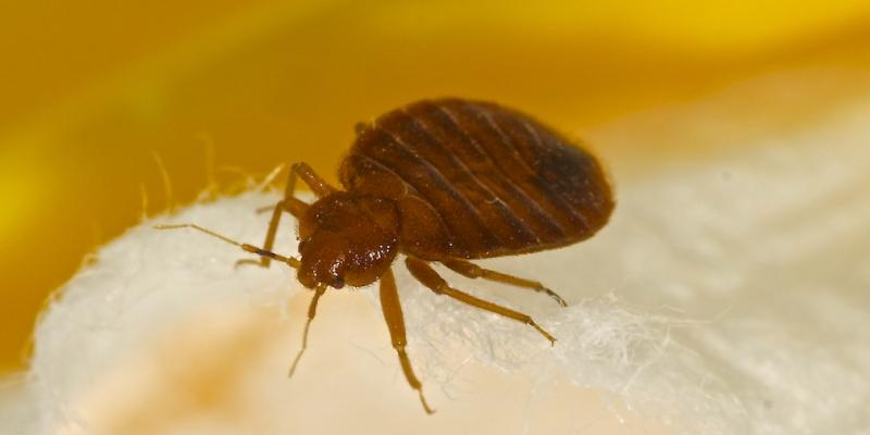Close up of a bed bug on a person's skin