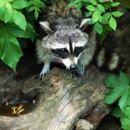 Raccoon on a branch in a bush.