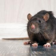 Rat on wood floors inside a home.